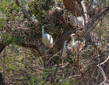 Some White Heron Chicks Claim ...