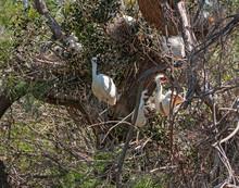 Some White Heron Chicks Claim Food.
