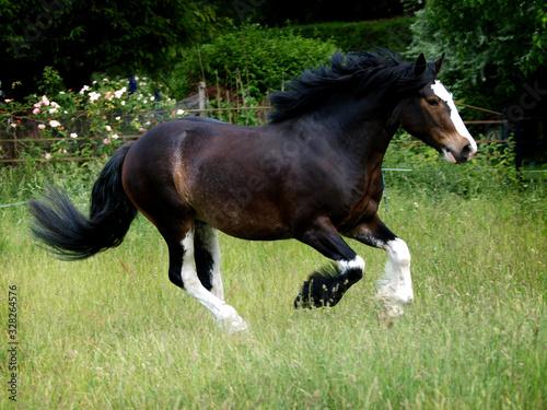 Fototapeta Heavy Horse at Liberty obraz