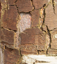 The Surface Texture Of Bark Of Old Birch Trees. Close Up.