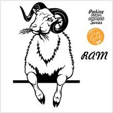 Peeking RAM Chews Hay - Cheerf...