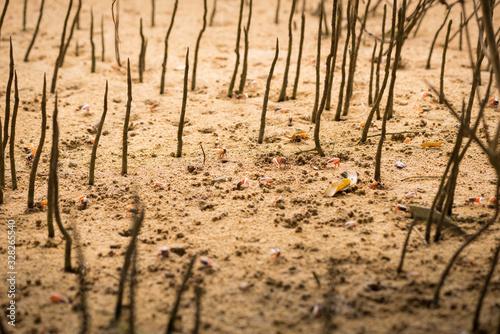 Valokuva Uca vocans, Fiddler Crab walking in mangrove forest at Phuket beach, Thailand