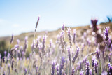 Wild lavender fields by the sea, south coast of the Region of Murcia, Spain - 328267104