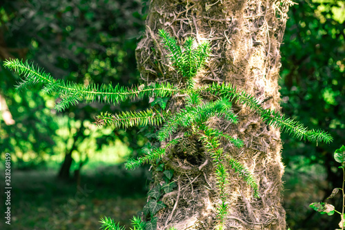 Photo Green young branches on tree araucaria angustifolia in summer