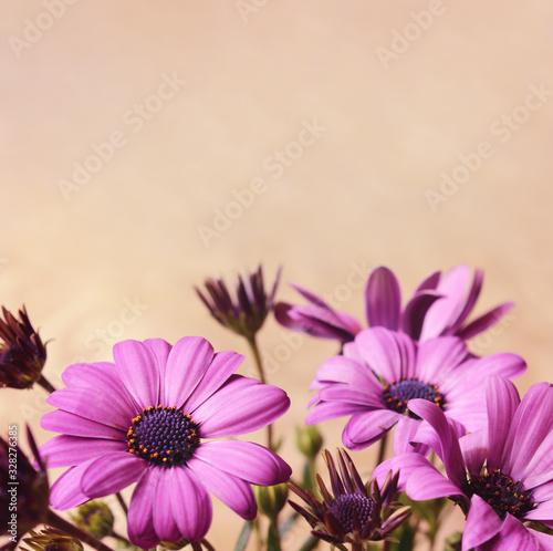 Fototapeta Purple daisy flowers and buds obraz na płótnie