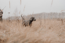 Field Training For A Hunting Weimaraner Dog