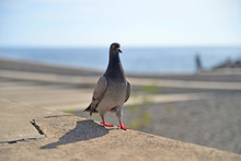 Pigeon On The Beach