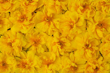 Cochlospermum Regium Or Yellow...