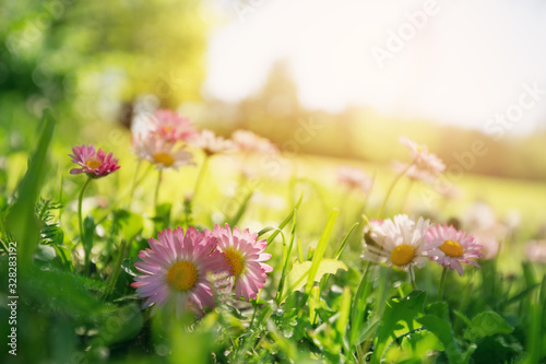Fototapeta Meadow with lots of white and pink spring daisy flowers obraz