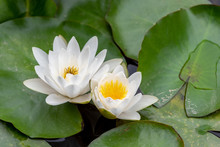 Water Lily Growing On Green Le...