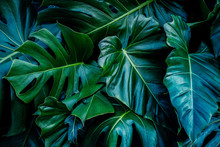 Monstera Green Leaves Or Monstera Deliciosa In Dark Tones, Background Or Green Leafy Tropical Pine Forest Patterns For Creative Design Elements. Philodendron Monstera Textures