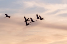 The Flock Of Sandhill Cranes Flying In The Blue Sky Over Galveston Island