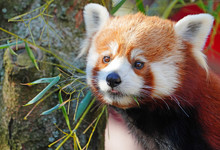 View Of A Red Panda (ailurus)