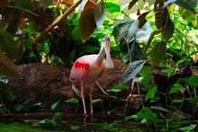 A Pink Roseate Spoonbill Bird