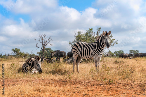 Fototapeta Nice zebras in Kruger National Park, South Africa obraz