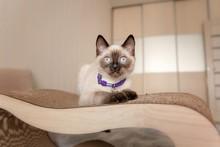 Sacred Burmese Kitten. Cute Li...