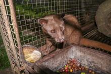 Palm Civet Eats Ripe Robusta C...