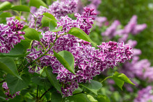 Lilacs Purple And White