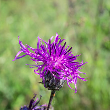 Thistle Flower Blooms In The Forest. Carthamus Lanatus. Focus Concept.