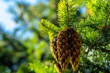 Pine Cone And Pine Needles. Un...