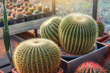 Three Large Round Cacti In A T...