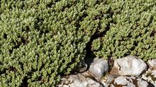 Plant De Véronique Naine Blanche Ou Hébé Naine (Hebe Pinguifolia) Au Feuillage Décoratif Vert Bleuté