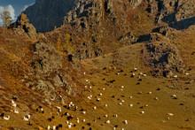 Russia. Mountain Altai. A Floc...