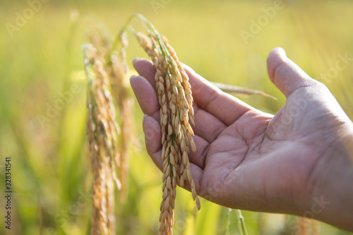 Fototapeta Hand holding yellow paddy rice in the field.