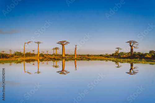 Baobabs trees Wallpaper Mural
