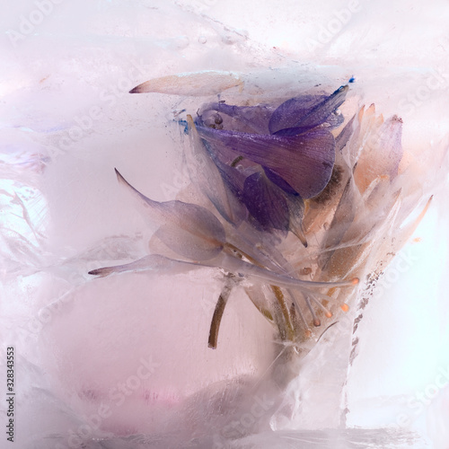 Photo Background of branch aquilegia  flower    in ice   cube with air bubbles