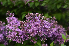 Branch Of Blooming Lilac. Flowers Of Lilacs (Syringa Vulgaris). Macro Image Of Spring Lilac Violet Flowers, Abstract Soft Focus Floral Background.