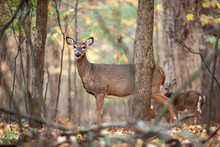 White-tailed Deer In The Woods...