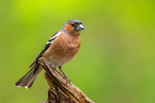 Common Chaffinch - Fringilla C...