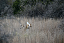 Whitetail Buck Leaping In The Grass