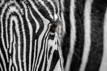 Grévy's Zebra / Imperial Zebr...
