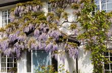 Impressive Blooming Lilac Wist...