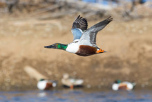 Waterfowl Of Colorado. Male No...