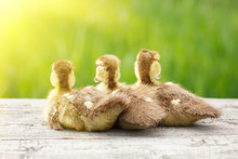 Three Little Ducks, Pets, With...