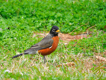 Close Up Of A Male Robin In Th...