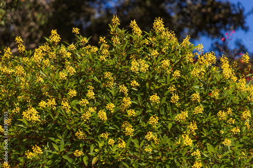 Yellow flowering hedge with tree and blue sky background