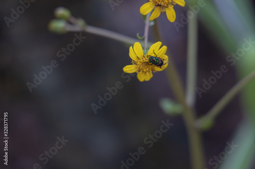 Yellow flowers with fly close-up