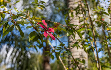 Red Hibiscus Flower In Tree