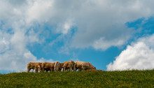 Herd Of Cows On Top Of A Pasture