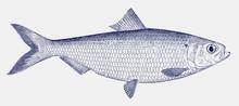 Male Blueback Herring Shad Alosa Aestivalis, Threatened Fish From The East Coast Of North America