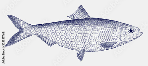 Foto Male blueback herring or shad, alosa aestivalis, a threatened fish from the east