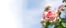 Wide Web Banner With Roses