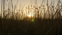 Reed Plant In Awesome Sunset