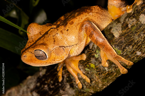 Photo The blacksmith tree frog, blacksmith treefrog, or smith frog (Hypsiboas faber or Boana faber) is a frog species in the family Hylidae