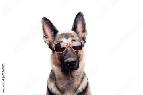 Canvas Print Portrait of a purebred red German shepherd in sunglasses on a white background with place for text