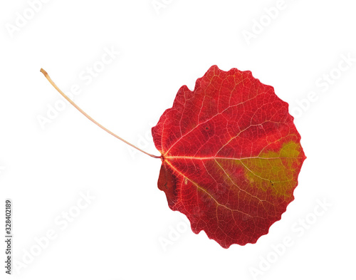Multicolored asp leaf on white background, isolated, close up Canvas Print